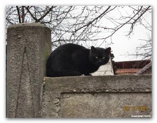 , Pisica neagră,(în drum spre secția de votare…), startachim blog, startachim blog