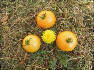 , Roșii galbene în jurul unei flori de păpădie, startachim blog, startachim blog