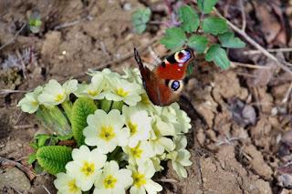 butterfly-startachim