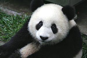 300px-Panda_Cub_from_Wolong_Sichuan_China
