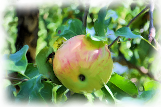 , Măr cu o viespe, startachim blog, startachim blog