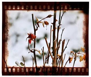diverse-4-rose