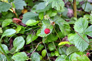 , Frăguțe din grădină, startachim blog, startachim blog