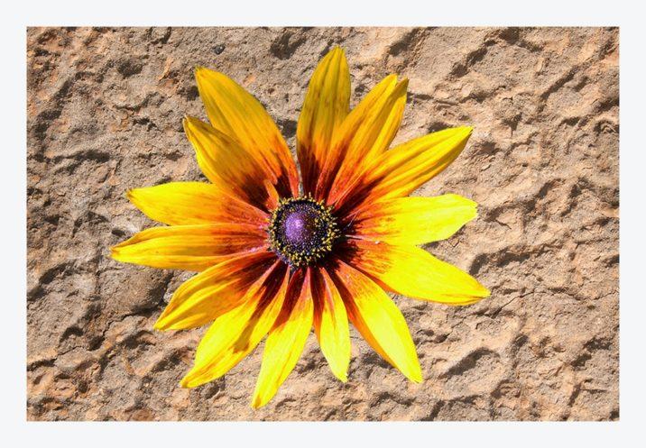 , Floarea soarelui ornamentală, startachim blog, startachim blog