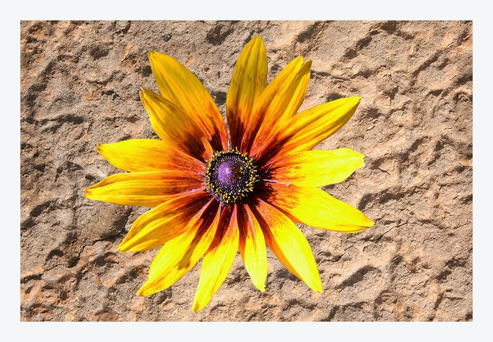 floarea-soarelui-ornamentala
