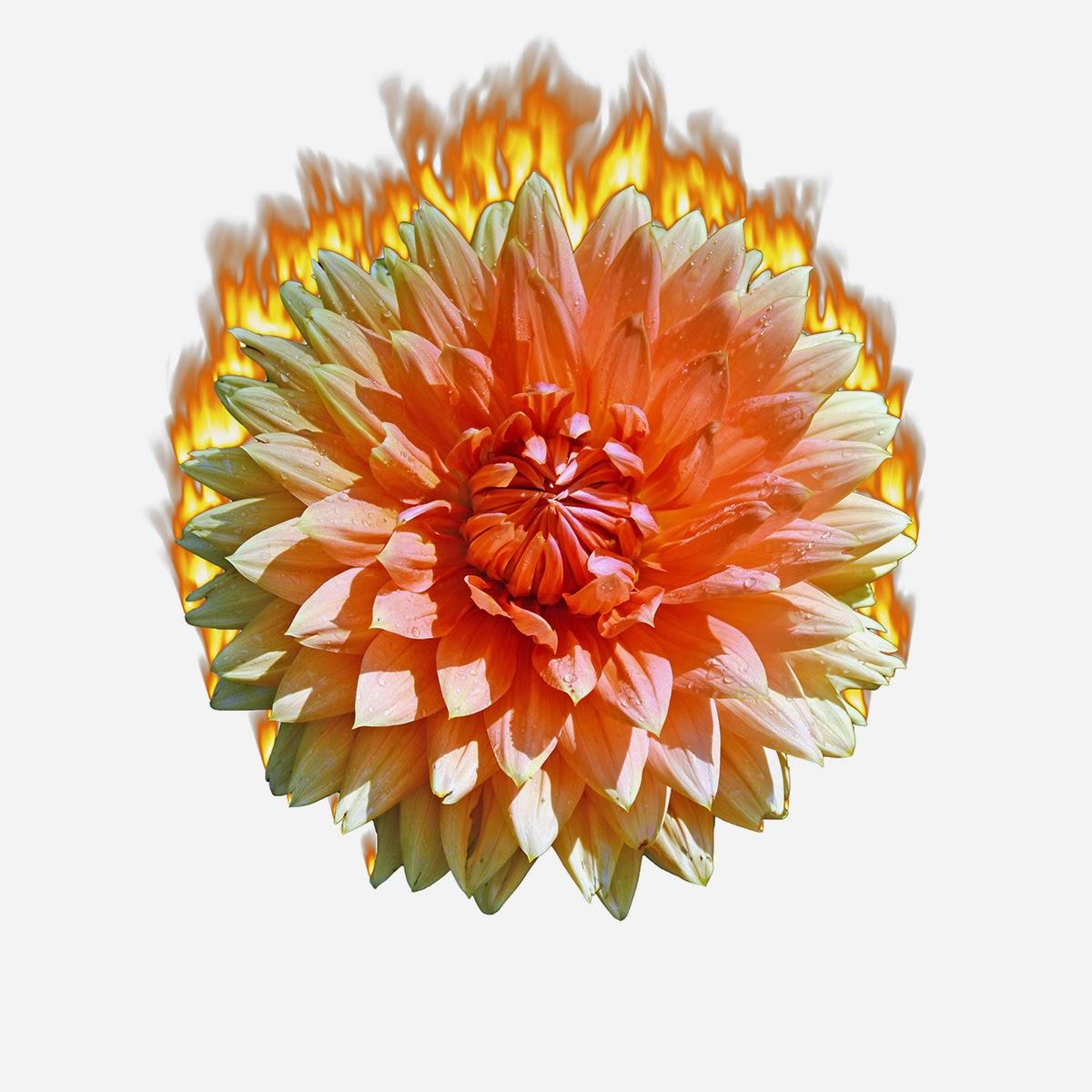 floareinflacari