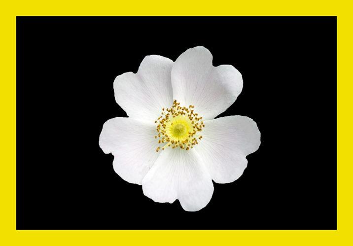 , Floare de măceș, startachim blog