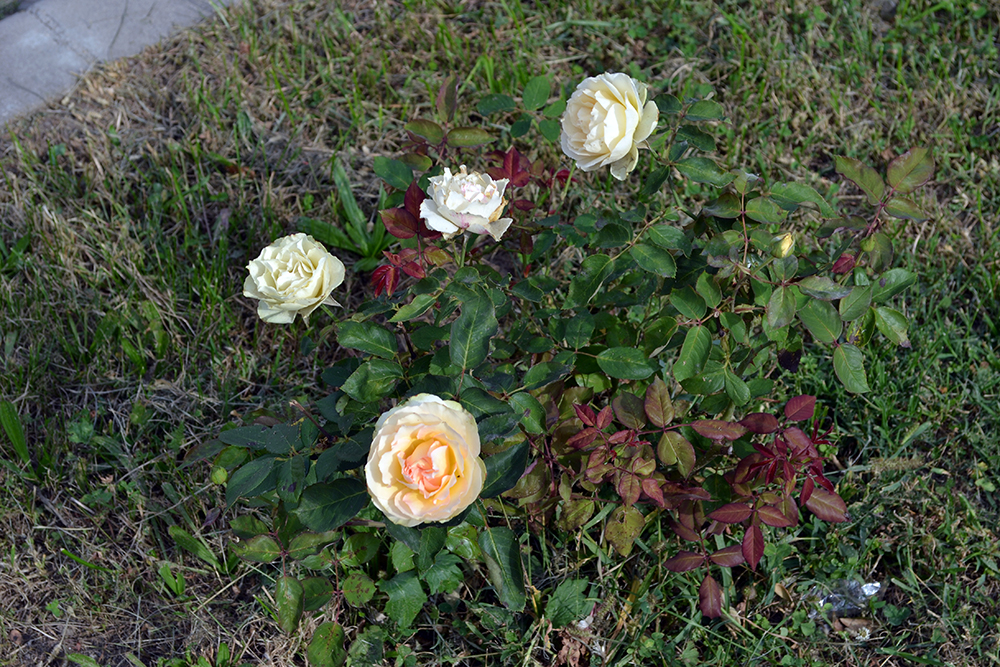 trandafir-galben