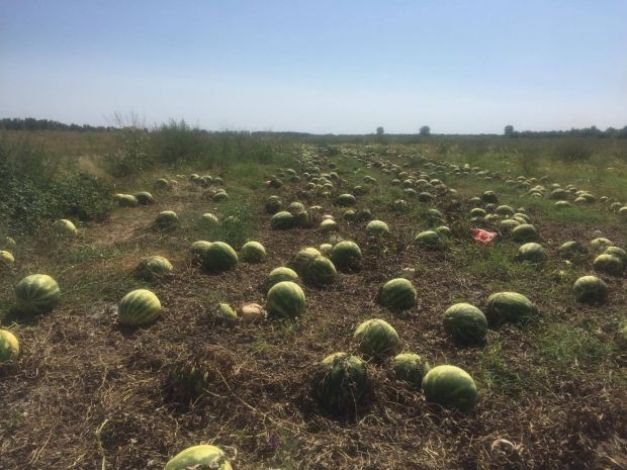 """, Recoltă abandonată în câmp din cauza zilierilor pretenţioşi. Fermier: """"E peste puterea mea să-i conving să lucreze"""", startachim blog, startachim blog"""